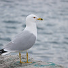 Ring-billed Gull, Larus delawarensis