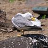 Yellow-legged Gull, Larus michahellis