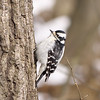 Downy Woodpecker, Picoides pubescens, Female.  Captain Cootes Trail, RBG, Hamilton, Canada