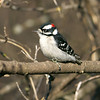 Downy Woodpecker, Picoides pubescens