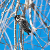 Ladder-backed Woodpecker, Picoides scalaris