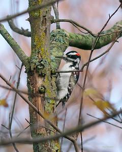 Hairy Woodpecker, Picoides villosus