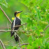 Yellow-fronted Woodpecker, Melanerpes flavifrons