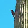 Gila Woodpecker, Melanerpes uropygialis