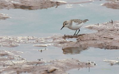 Sandpipers, Snipes