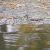 Greater Yellowlegs, Tringa melanoleuca,