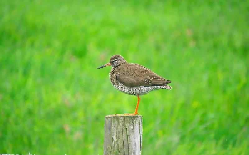 Common Redshank, Tringa totanus