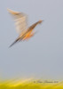 Reddish Egret at slow shutter speed