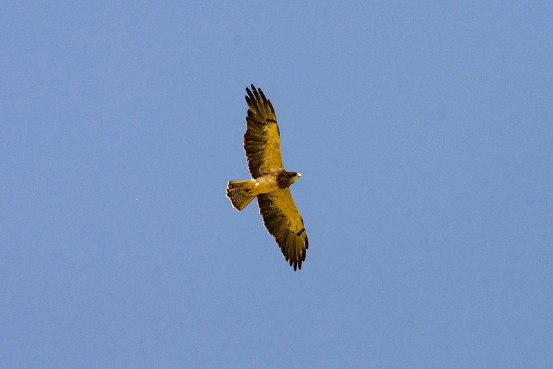 Soaring Swainson's Hawk