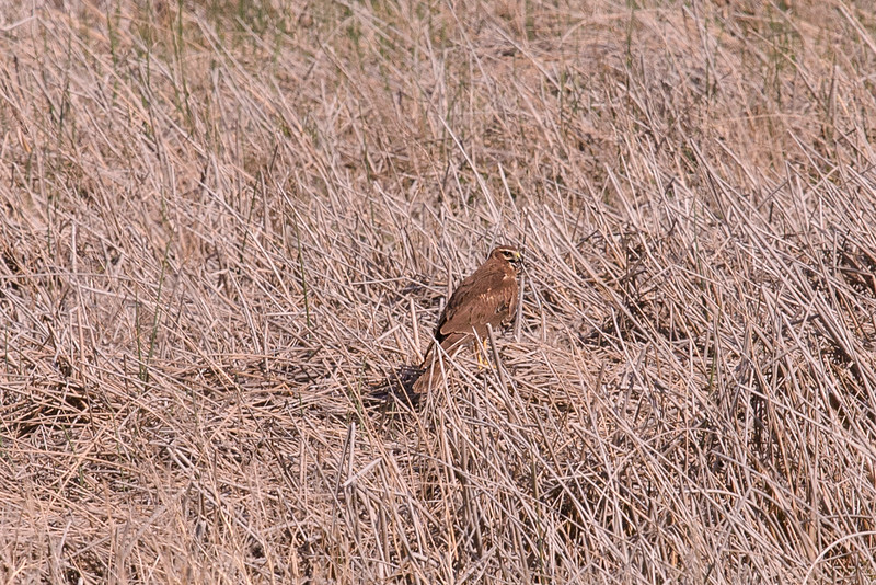 Marsh Hawk