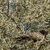 Swainson's Hawk in Russian Olive