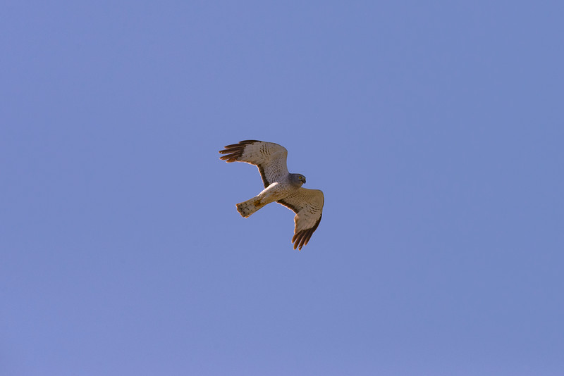 Northern Harrier -- Male