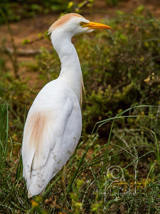 (R 071) Cattle Egret