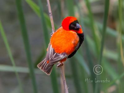 (R 824) Southern Red Bishop