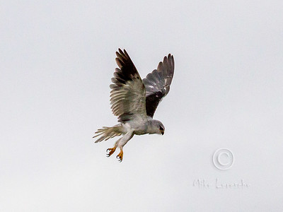 (R 127) Black-shouldered Kite