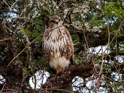 (R 150) Forest Buzzard