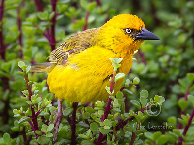 R 810 Spectacled Weaver