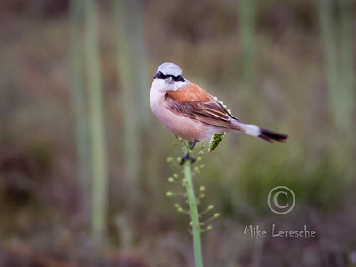 R 733 Red-backed Shrike