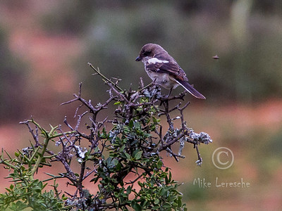 (R 732) Common Fiscal (Shrike) (imm)