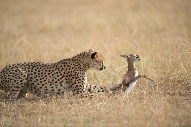 Chita hunting baby Thompson II