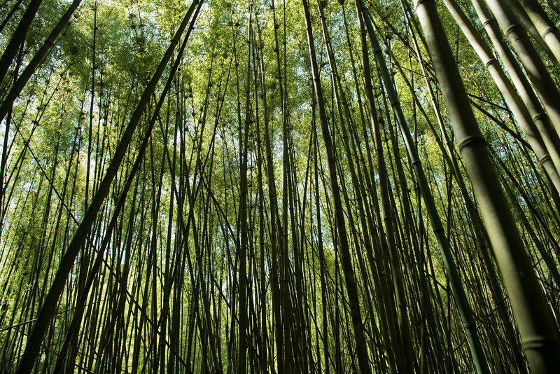 Bamboo forest in Virunga
