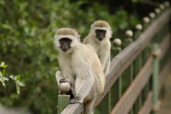 Vervet Monkey Chlorocebus pygerythrus Family Cercopithecidae Keekorok Lodge, Maasai Mara National Reserve, Narok County, Kenya 8 February 2016