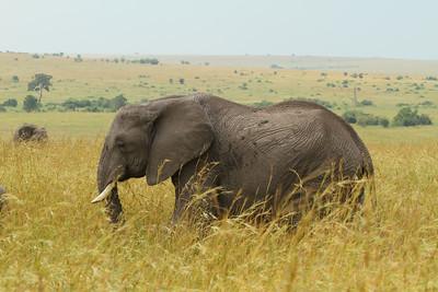 African Bush Elephant Loxodonta africana Family Elephantidae Maasai Mara National Reserve, Narok County, Kenya 8 February 2016