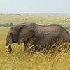 African Bush Elephant<br> <i>Loxodonta africana</i><br> Family <i>Elephantidae</i><br> Maasai Mara National Reserve, Narok County, Kenya<br> 8 February 2016