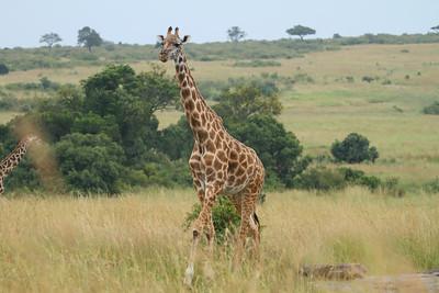 "Giraffe ""Maasai"" subspecies Giraffa camelopardalis tippelskirchi Family Giraffidae Maasai Mara National Reserve, Narok County, Kenya 8 February 2016"