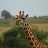 "Giraffe<br> ""Maasai"" subspecies<br> <i>Giraffa camelopardalis tippelskirchi</i><br> Family <i>Giraffidae</i><br> Maasai Mara National Reserve, Narok County, Kenya<br> 8 February 2016"