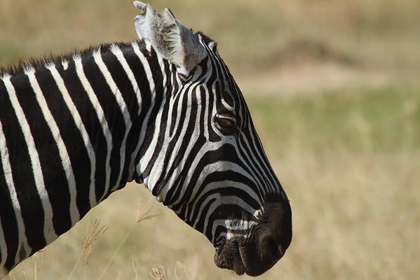 Plains Zebra Equus quagga Family Equidae Lake Nakuru National Park, Nakuru County, Kenya 7 February 2016