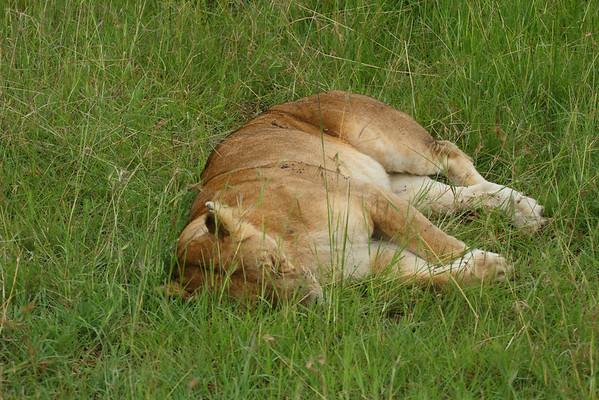 East African Lion Panthera leo Family Felidae Maasai Mara National Reserve, Narok County, Kenya 8 February 2016