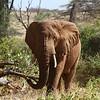 African Bush Elephant<br> <i>Loxodonta africana</i><br> Family <i>Elephantidae</i><br> Samburu National Reserve, Samburu County, Kenya<br> 4 February 2016