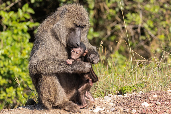 Oliven Baboons