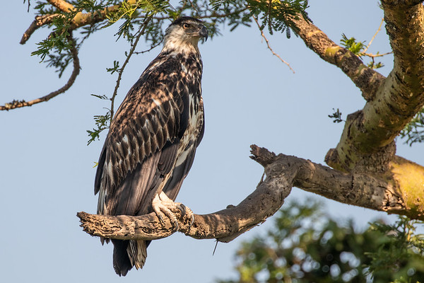 Juvenile African Fish Eagle