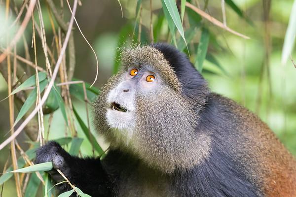 Golden Monkey, Volcanoes National Park/Rwanda