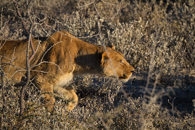 Lion stalking a zebra thru the brush. Etosha National Park, Namibia.