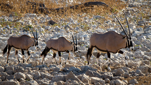 Oryx (also known as Gemsbok) in Etosha National Park, Namibia.