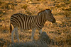 Backlit zebra just before sunset - Etosha National Park, Namibia.
