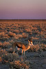 Springbok at dawn - Etosha National Park, Namibia.