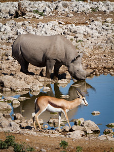 Rhino and Springbok at the water hole - Etosha National Park, Namibia.
