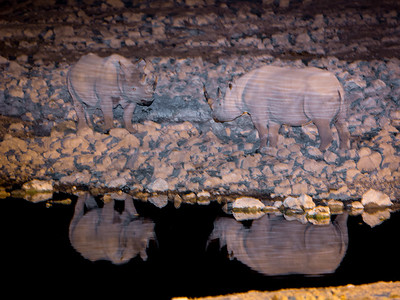 Two Black Rhinos meet at the water hole - Etosha National Park, Namibia.