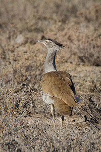 Kori Bustard - the largest flying bird in Africa - in Etosha National Park, Namibia. Male bustards can weigh up to 40 lbs. and have a 9-foot wingspan.