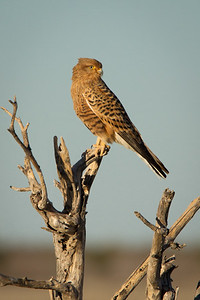 Greater Kestrel - Etosha National Park, Namibia.