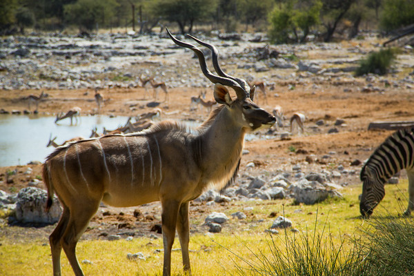 A kudu and other animals visiting the water hole at mid-day. Etosha National Park, Namibia.