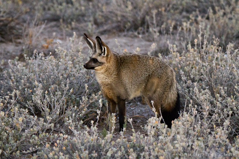 Bat-Eared Fox in Etosha National Park, Namibia