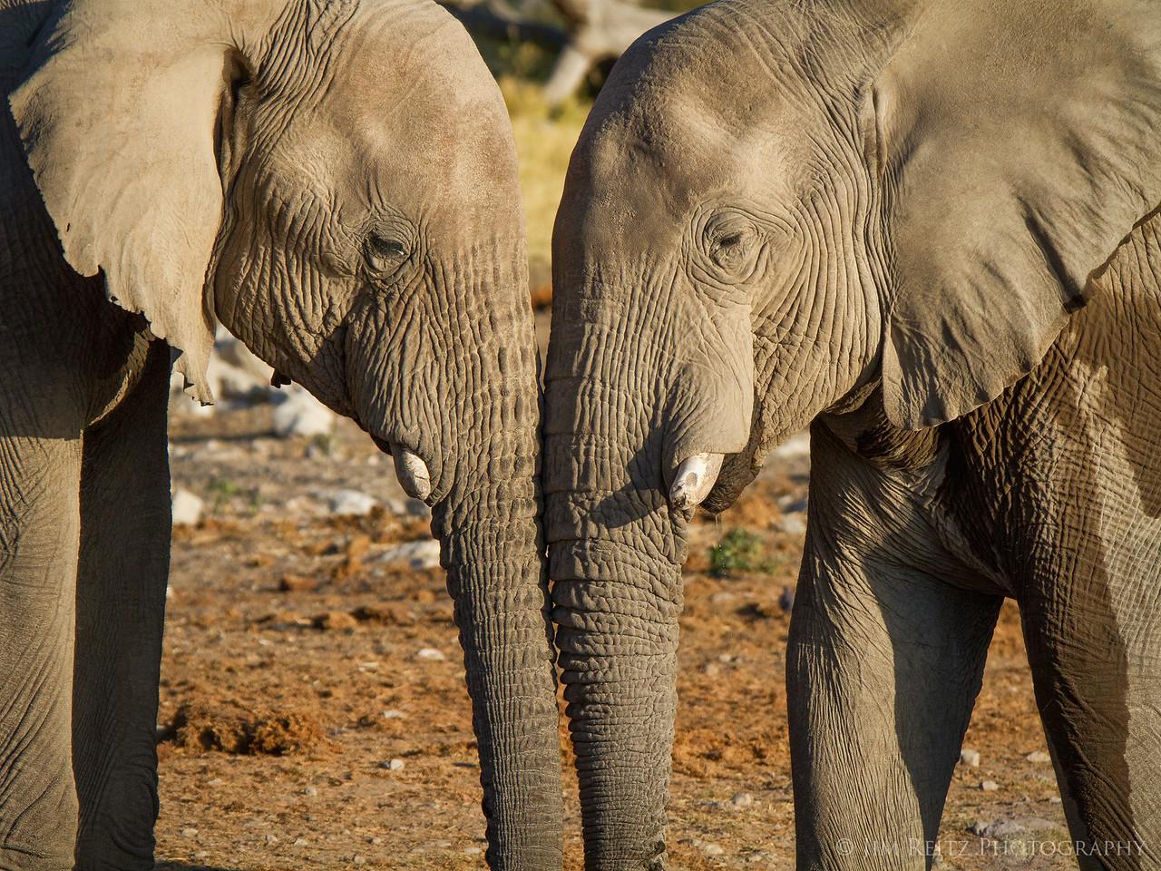 Elephants - Etosha National Park, Namibia.
