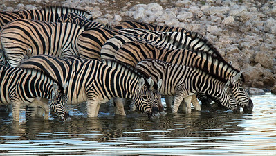 Thirsty zebras at the water hole - Etosha National Park, Namibia.
