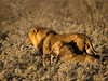 Lion pair - Etosha National Park, Namibia.