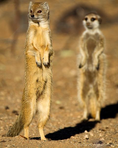 A mongoose does his best meerkat imitation - near Keetmanshoop, Namibia